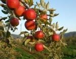 Apples on limb