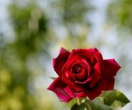 Rose - online