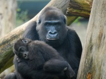 Mom-baby gorilla, online