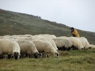 shepherd - online