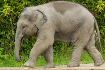 Baby Elephant walking