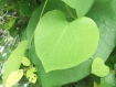 Heart leaves