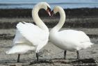 Love Swans - online