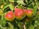 pears-online