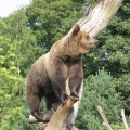 bears in tree-online
