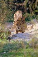 cheetah-online
