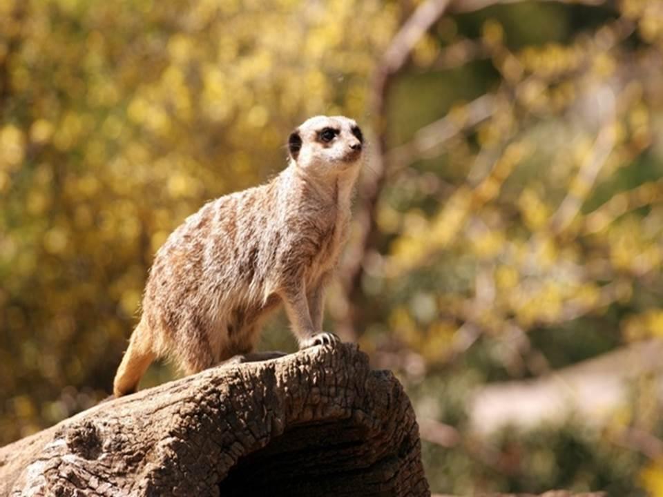 meerkat-online