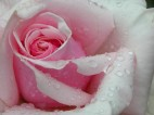 rose after rain-online